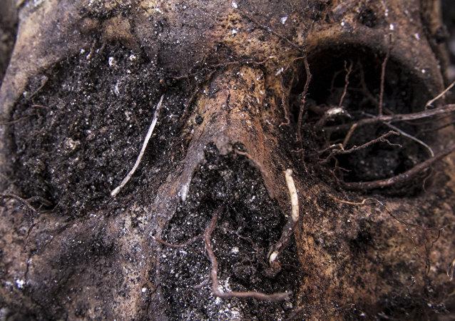 Huitzuco, Guerrero. Cráneo localizado en una fosa clandestina.