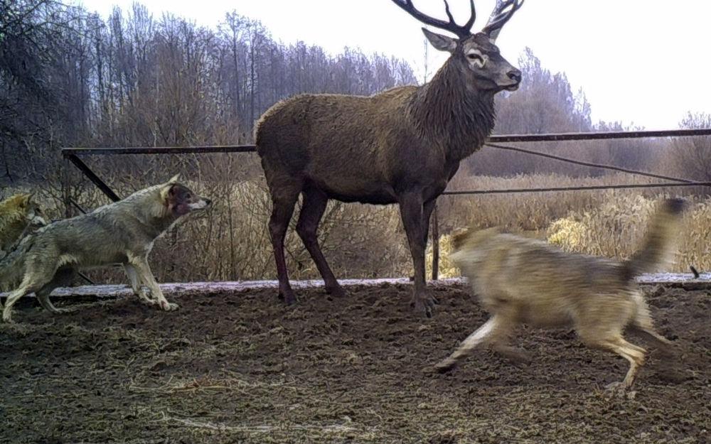 La fauna radioactiva de Chernóbil