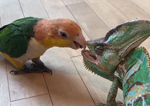 Un tierno loro intenta hacerse amigo de un camaleón… y esto es lo que pasa