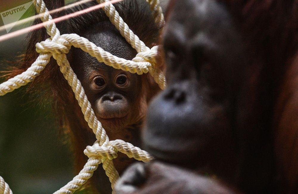 Un tauraco persa, un galago del Senegal y un orangután de Borneo: el zoo de Moscú cumple 155 años