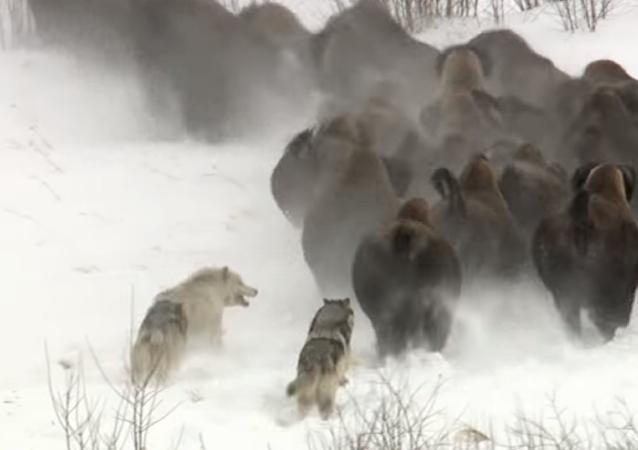 Atrápame si puedes: tres lobos dan caza a un rebaño de búfalos
