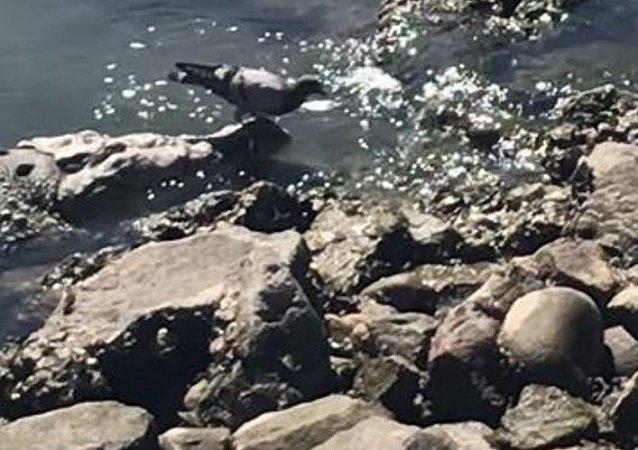 Una paloma pasea sobre un aligátor