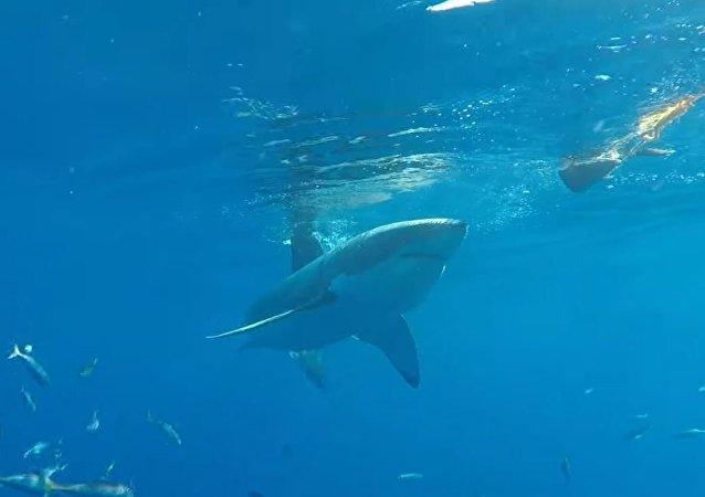 Un tiburón blanco intenta penetrar en la jaula de un buceador
