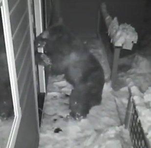 Ladrones de guante blanco: varios osos se cuelan en una caseta