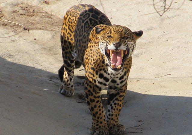 Un jaguar, imagen referencial