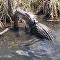 Así se zampa un caimán a una pitón de tres metros