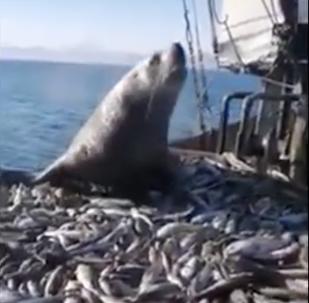 Un problema literalmente gordo: un lobo marino se sube a un barco y se zampa el pescado
