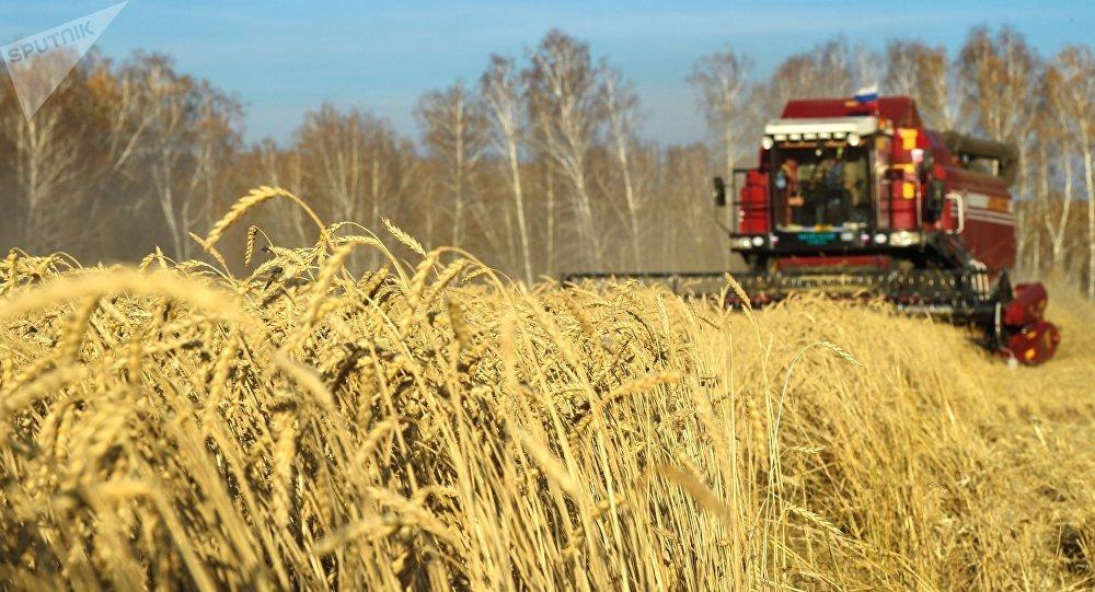 Recogida de la cosecha de trigo en Rusia