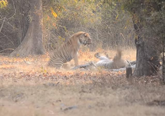 Dos tigres protagonizan una feroz pelea en la India