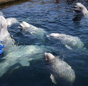 Belugas en la bahía Srédnyaya, en la costa rusa del Pacífico (archivo)