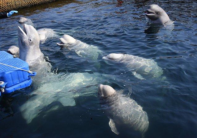 Belugas en la bahía Srédnyaya, en la costa rusa del Pacífico