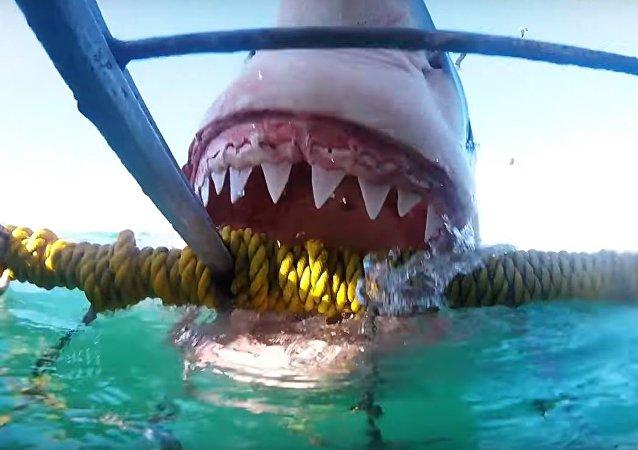 Tiburón blanco ataca una jaula