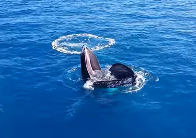 Una ballena sorprende a los australianos con su extraña conducta