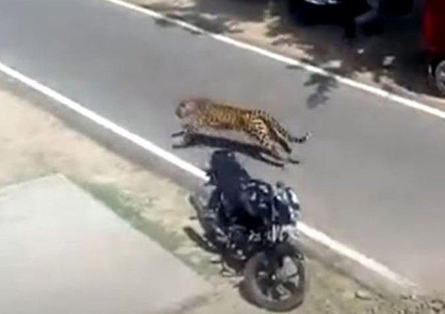 Parkour felino: un leopardo se apodera de los tejados y siembra el terror en un pueblo indio