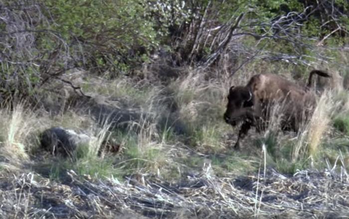 El terrible desenlace a vida o muerte entre un lobo y un pequeño bisonte