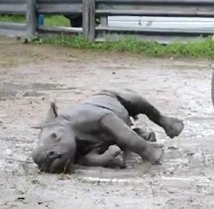 Así es el primer baño de barro de una pequeña rinoceronte