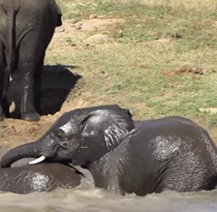 Así se divierten dos elefantes en un 'parque acuático improvisado' de Sudáfrica