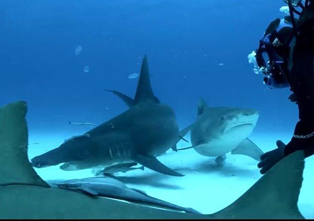 A milímetros del peligro: los grandes tiburones comen de la mano de humanos