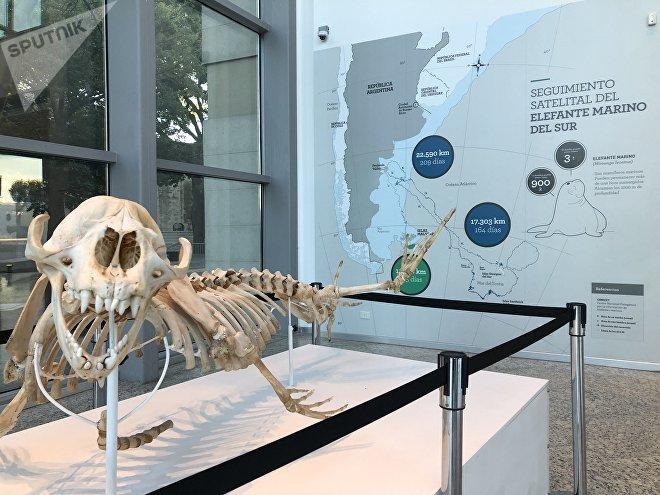 Alrededor de las Malvinas, como en todo el Atlántico sur, hay elefantes marinos. En el museo, se muestra su recorrido por distintos lugares.