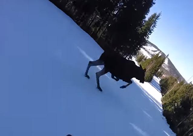 ¡Cuidado con los alces! Graban un peligroso momento en la pista de esquí