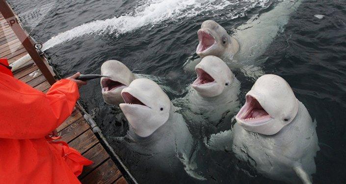 Belugas en la costa rusa del Pacífico