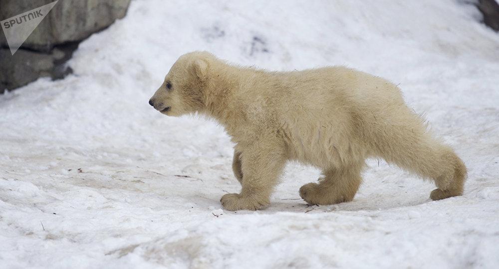 Un osezno polar