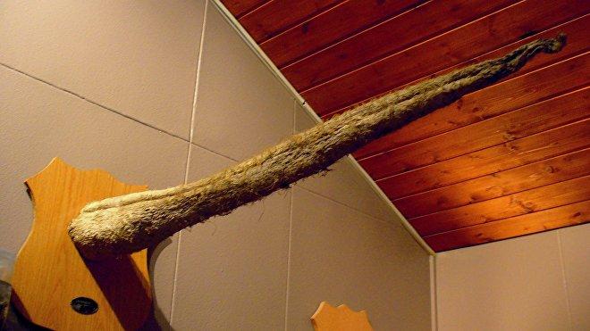 El indiscutible emperador entre todos los animales es la ballena azul. El miembro masculino de un espécimen adulto llega a medir los dos metros de largo.