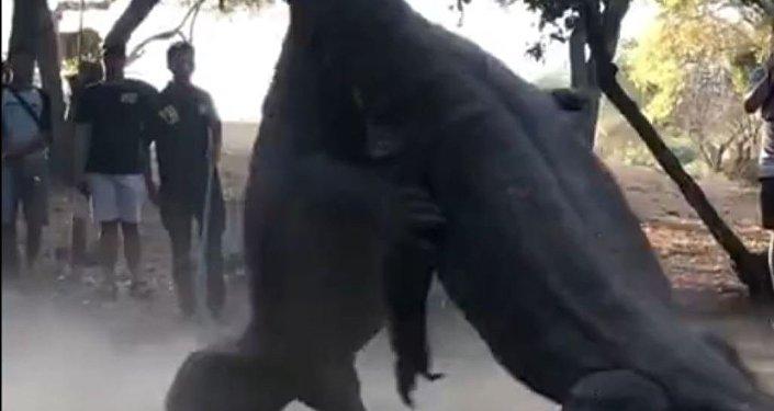 Dos varanos de Komodo luchan