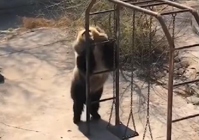 Un oso bailarín conquista a los internautas con sus divertidos movimientos