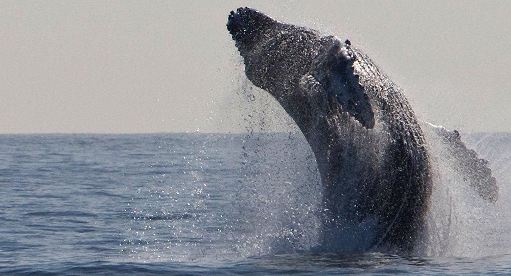 Una ballena, imagen referencial