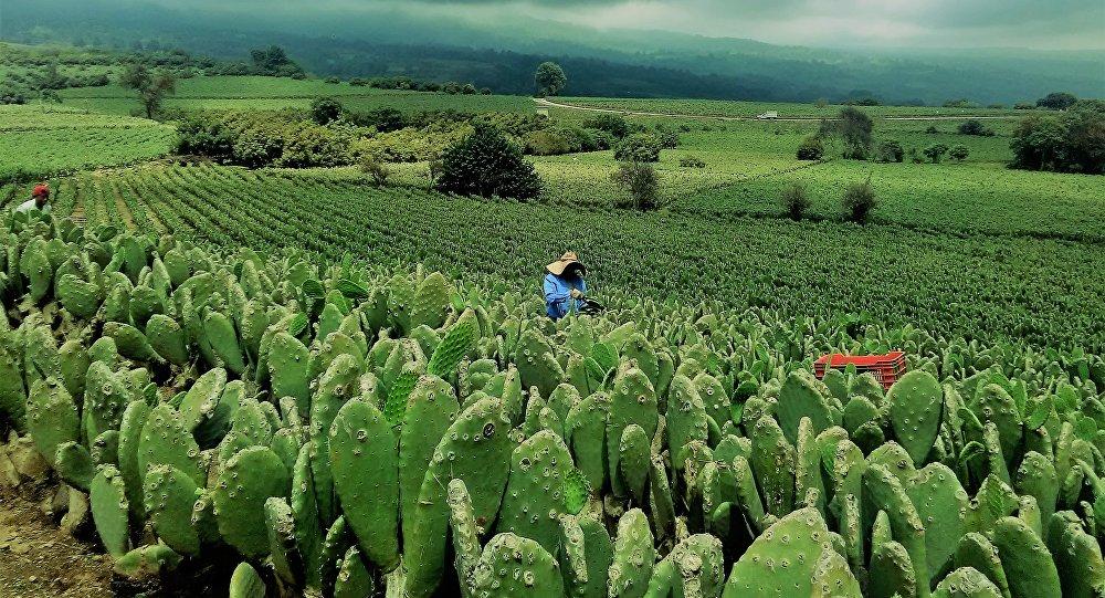 Una plantación de nopales