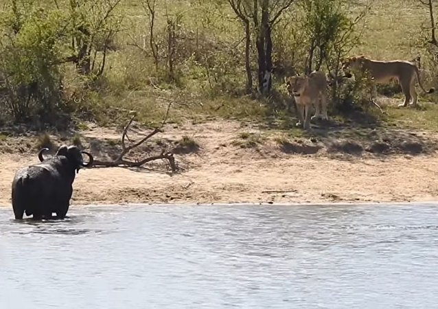 Un búfalo contra leones y cocodrilo