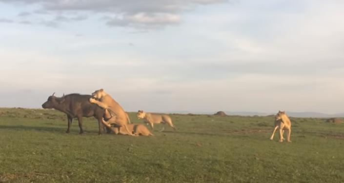 Una manada de leones ante un suculento festín