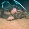 Así devoran un enorme caimán en el golfo de México los isópodos gigantes