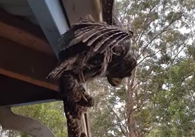 Una pitón asesina un podargo frente a los ojos de unos australianos