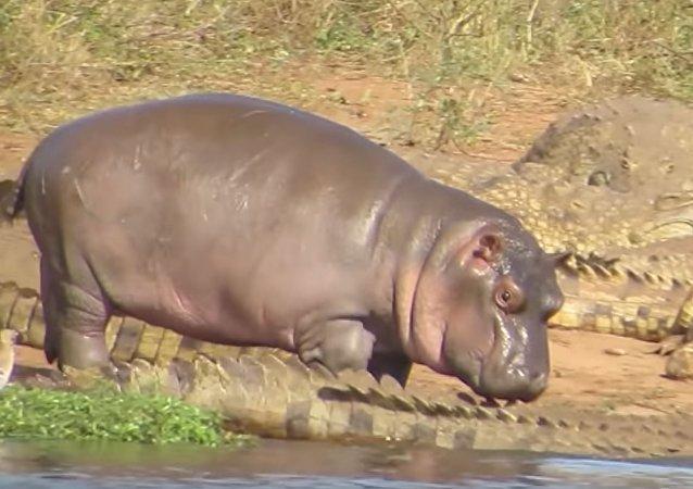 Un bebé hipopótamo se enfrenta a cocodrilos