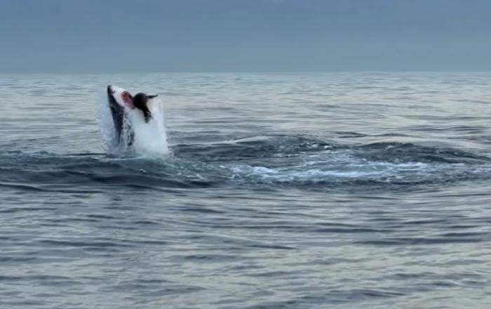 Resultado de imagen para tiburón blanco a un lobo marino