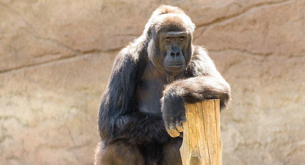 Una gorila, imagen referencial