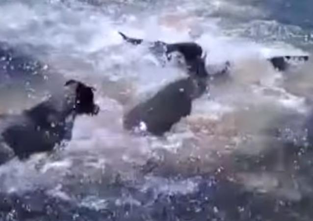 Amistades peligrosas: unos perros juegan con un tiburón