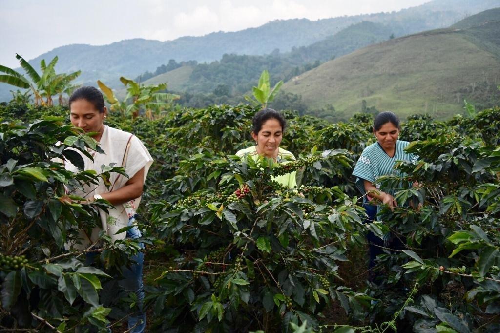 Un total de 45 excombatientes de FARC, así como miembros de la comunidad del municipio de Dolores (Tolima, centro-occidente), hacen parte de un ambicioso proyecto de exportación de café orgánico a Estados Unidos y varios países de Europa como parte del proceso de implementación de paz en Colombia.