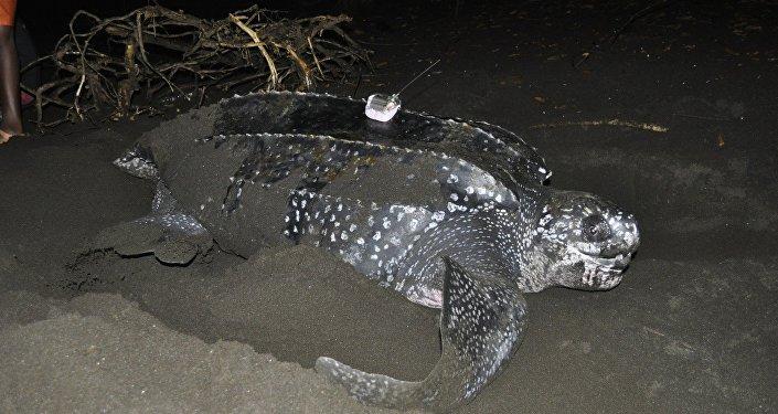 Una tortuga laúd siendo estudiada en la costa de Guinea Ecuatorial