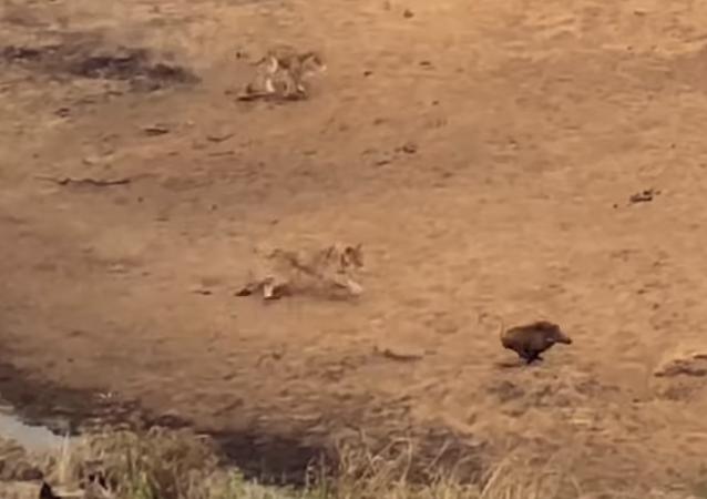 Unas leonas emboscan a un jabalí verrugoso y este sale pitando