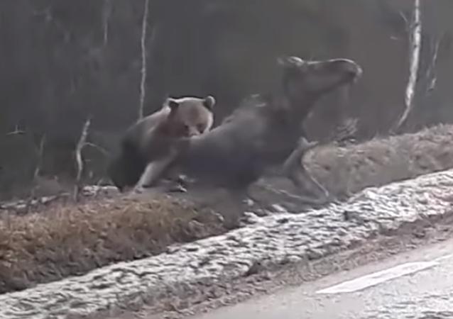 La ley de la selva es este oso cazando un alce