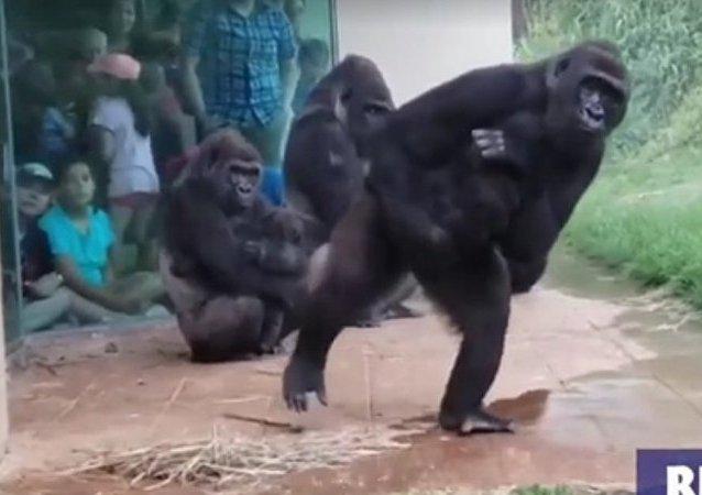 El vídeo viral de unos gorilas intentando no mojarse por la lluvia