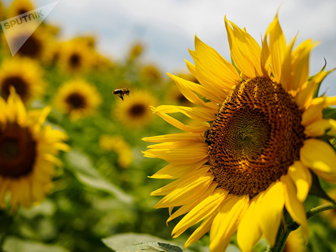Una abeja en un campo de girasoles