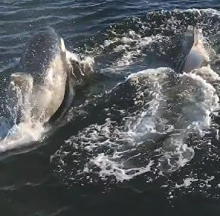 Una manada de orcas deja atónitos a un grupo de turistas