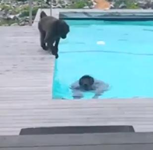 ¡Pool party! Unos babuinos disfrutan del agua fresca en la piscina de un hotel
