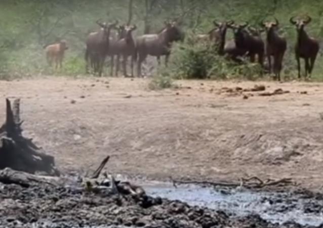 Un leopardo sale de la nada y devora a un antílope