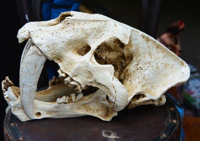 Fósil de un tigre diente de sable (archivo)