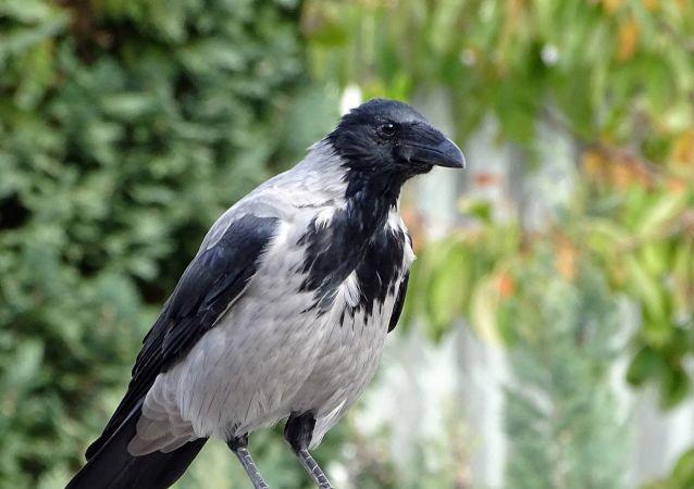 Un cuervo, referencial